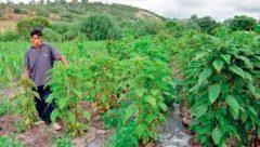 Los quelites: usos, manejo y efectos ecológicos en la agricultura campesina