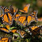 Mueren miles de monarcas en santuario de Michoacán