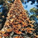 Mariposa monarca y apoyo a depredadores