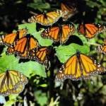 Desarrollan modelo de conservación de la ruta migratoria de la mariposa monarca