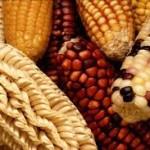 El maíz perenne es la respuesta para México: Antonio Turrent Fernández*