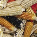 Siembra de maíz transgénico en México, innecesaria, considera Álvarez-Buylla