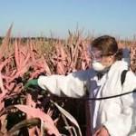 Promotores de agroecología critican a juez que avaló siembra de transgénicos