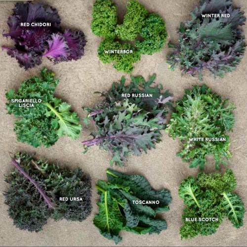 Variedades de Kale. Fotografía por sixburnersue.com