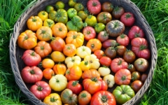 Cómo Cultivar Jitomates Orgánicos en Casa