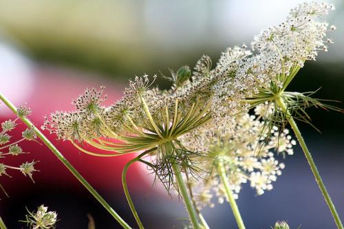 Zanahoria en floración. Por Manuel (Flickr)
