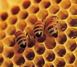 apicola, beekeeping