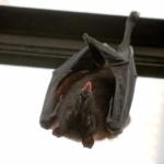 Pruebas con murciélagos en el laboratorio de Wuhan