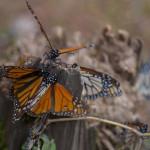Transgénicos de EU amenazan la existencia de la mariposa monarca