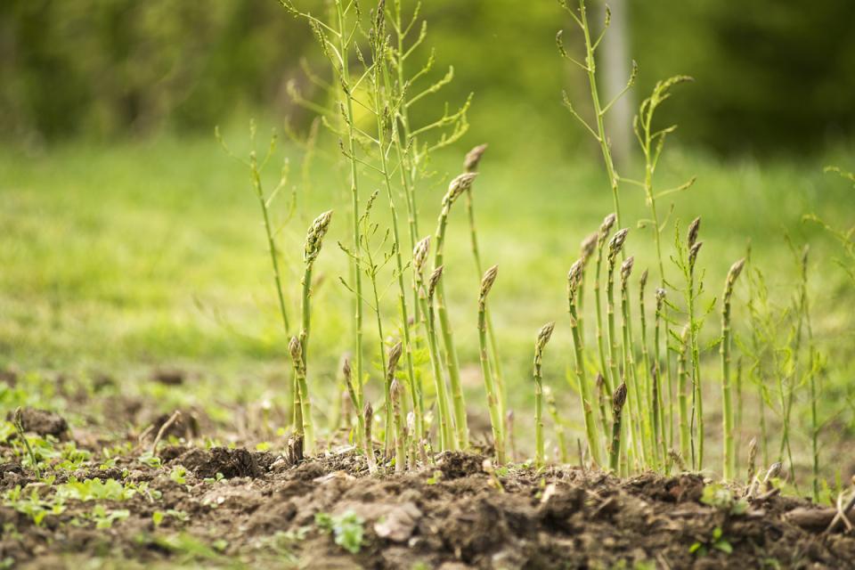 el cultivo del espárrago - vía orgánica