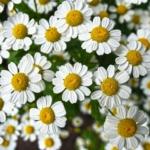Cómo Cultivar Manzanilla Orgánica en tu Casa