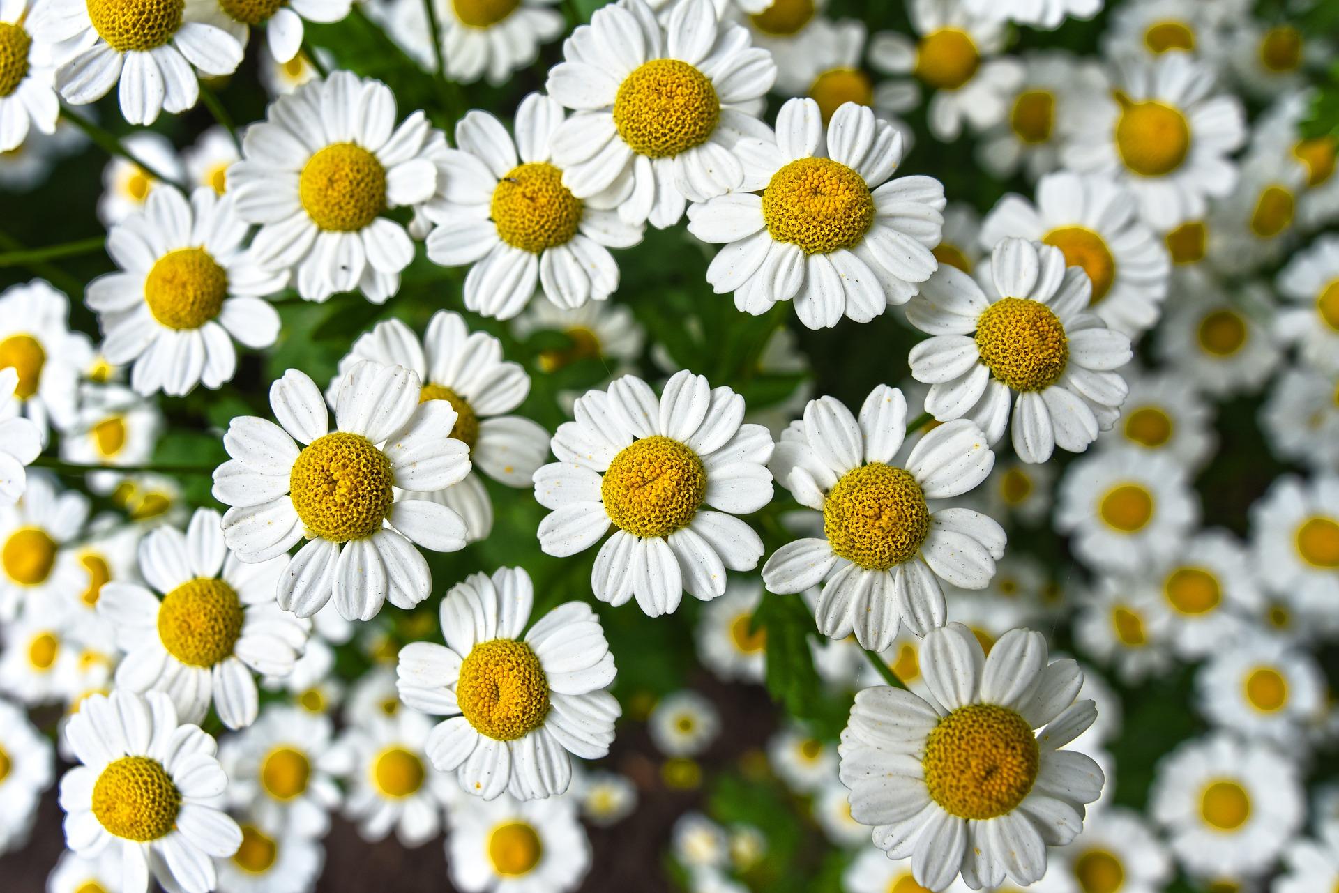 Cómo Cultivar Manzanilla Orgánica en tu Casa - Vía Orgánica