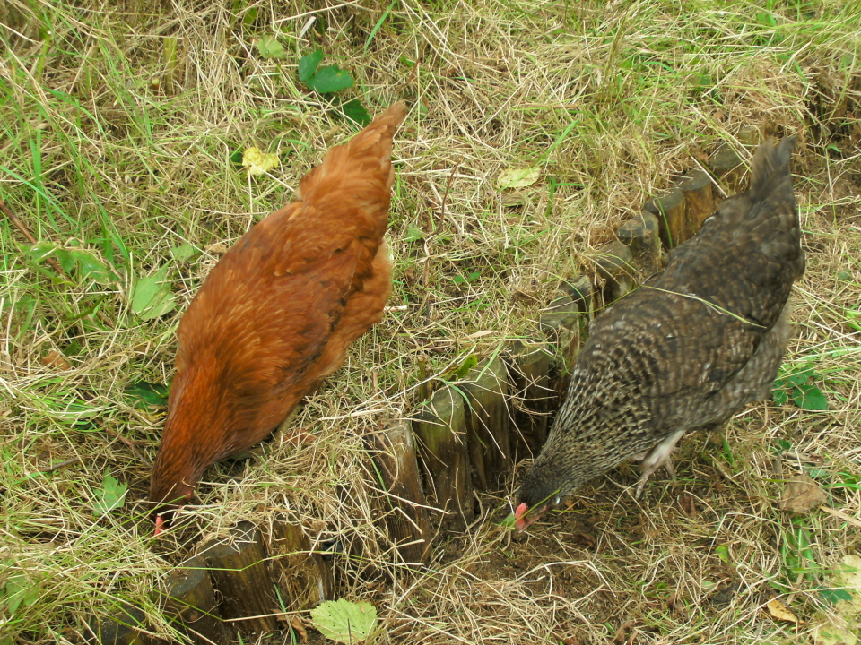 Las gallinas buscaran las babosas y caracoles para alimentarse. ¡Pero cuidado! Pueden comerse también tus plantas si no las supervisas