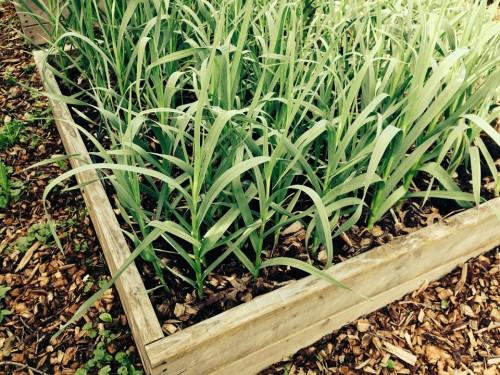 garlic-416030_1920