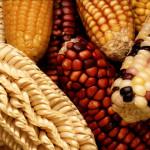 Transgénicos contaminarán el maíz tradicional, admiten trasnacionales