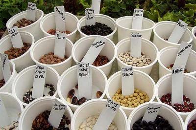 Desarrolla syngenta semilla de ma z no transg nica for Tipos de plantas forestales