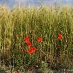 Mala hierba que no muere