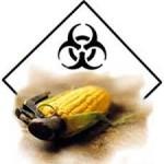 OGMs: ¿Prohibirlos o etiquetarlos?