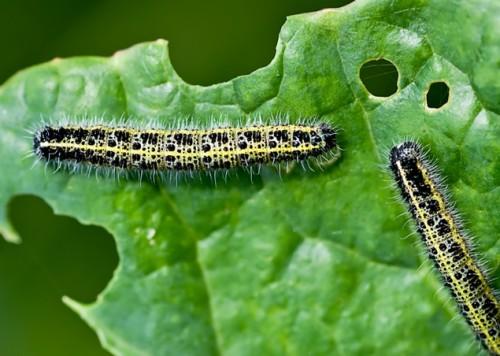 Larvas en arúgula. Fotografía por Seedsnow