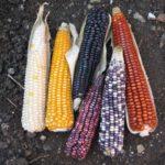 Décimas por el maíz