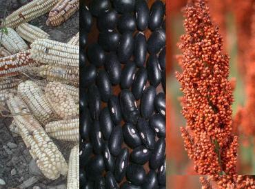 maiz, frijol, sorgo, corn, beans, sorghum