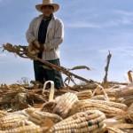 Se desató la especulación en el precio del maíz, dicen tortilleros; no sé que haya subido: Ferrari