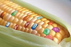 maiz transgenico, transgenic maize