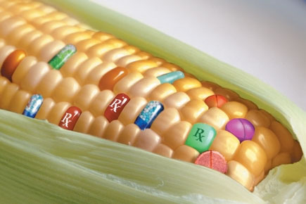 maiz transgenico, transgenic maize