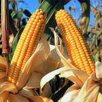 Prevén se venda maíz transgénico en 6 meses