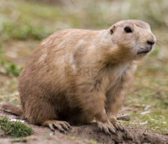 marmota, marmot