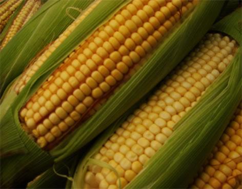 mazorcas de maiz, corn cobs