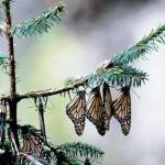 Cae 82% población de mariposas monarcas