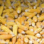 Se dispara 50% precio del maíz por sequía en EU