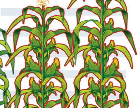 plantas de maiz, maize plants