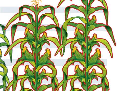 plantas de maiz - Vía Orgánica
