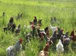 pollos via organica
