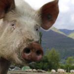 Cerdos, campesinado catalán y soberanía alimentaria