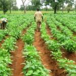 Hallan cultivos de soya transgénica en Bacalar: Esperan resolución de amparo de campesinos mayas de QR contra siembra de esta planta modificada