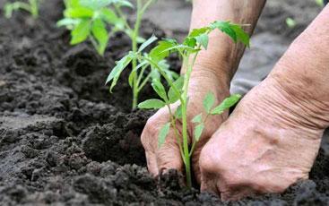 Trasplante, rotación y asociacón de cultivos. - Vía Orgánica